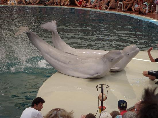 Aqualand & Dolphinland: beluga whales on side