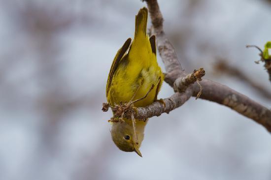 Puerto Ayora, Ecuador: Yellow Warbler