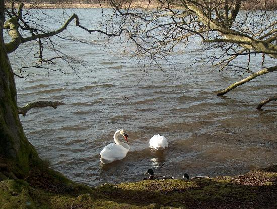 Haddo House & Country Park: Swans