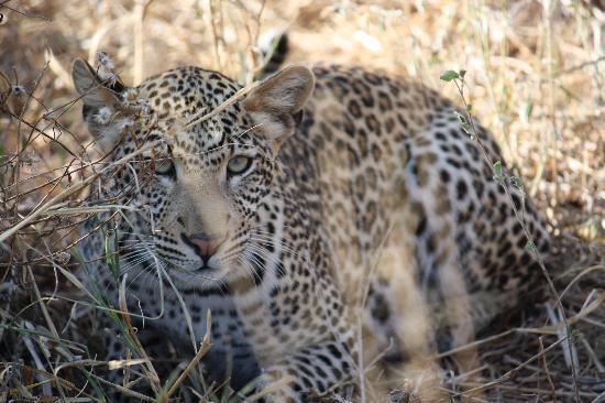 Kilaguni Serena Safari Lodge: Incredible sighting