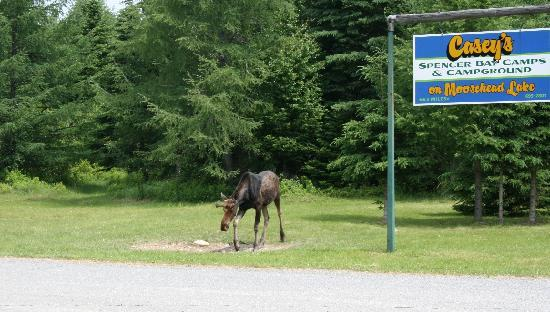Casey's Spencer Bay Camps: A Moose to greet us!