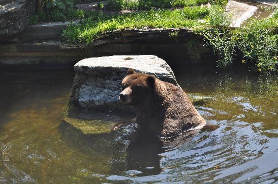 Koelner Zoo : Braunbär am abkühlen