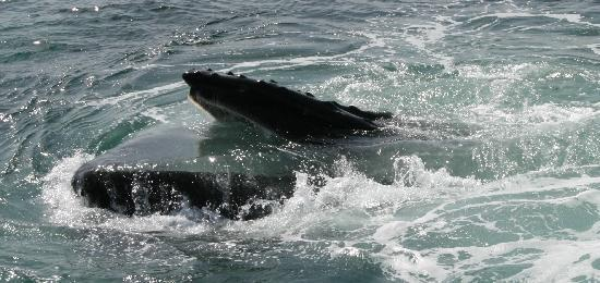 Dolphin Fleet Whale Watch: How Close Can They Get? REAL CLOSE
