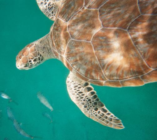 Small Cats - swimming with turtles: fotograf?a de Turtle Beach by ...