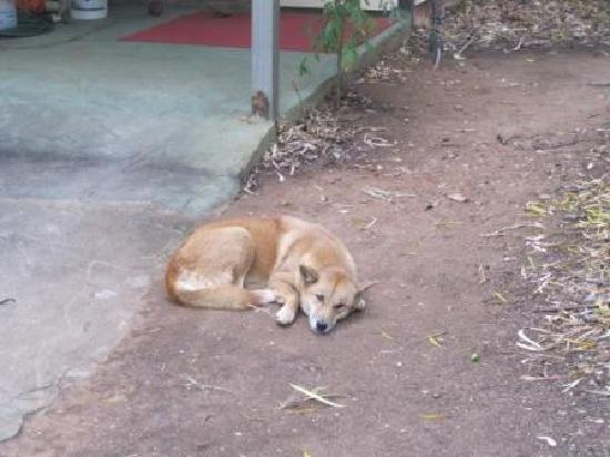 Mt Hart Homestead : Dingo