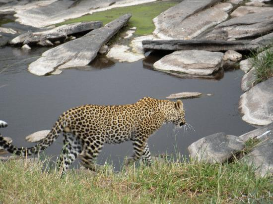 Mara Explorer Camp: Leopard near our jeep