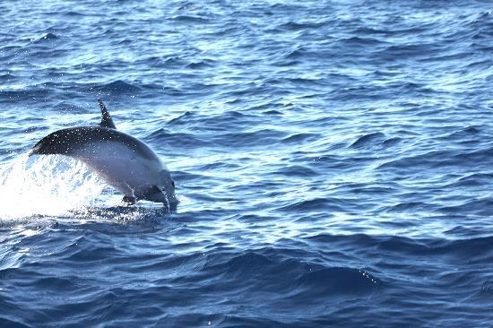 Понта-Дельгада, Португалия: spielende Delfine