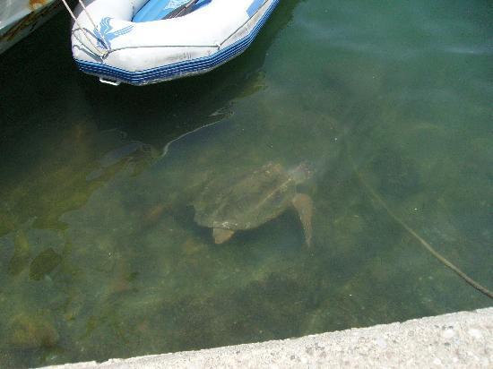 Oykun Otel: Turtles in Fethiye Harbour