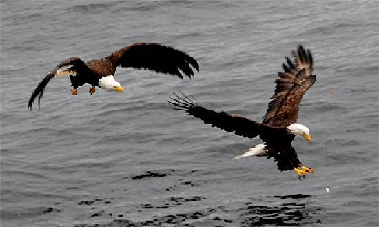 Waterfall Resort Alaska: Alaska Bald Eagles