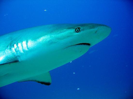 Ocean Explorers Dive Center: Shark Awareness Dive