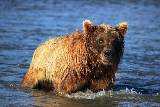 Alaska bear adventures grizzly looking forward