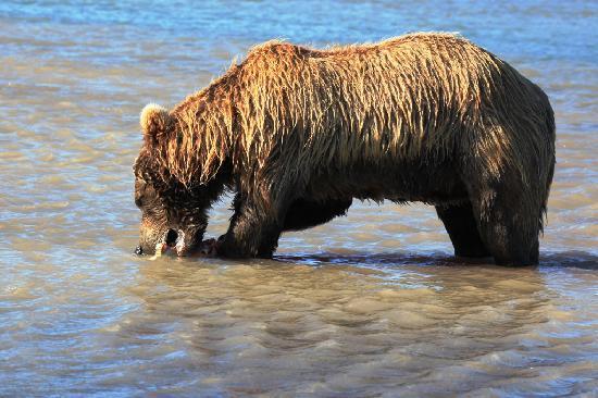 Alaska bear adventures grizzly eating salmon