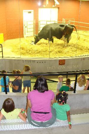 Fair Oaks Farms: Watching mama cow and her newborn calf in the birthing barn