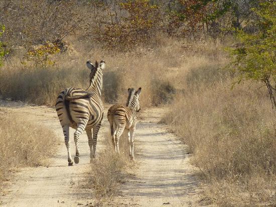 Makutsi Safari Springs: Zebras at the safaris