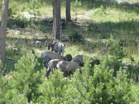State Game Lodge: Big Horn Sheep