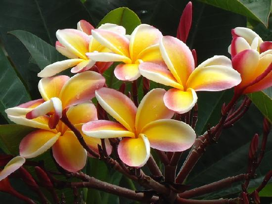 Plumeria, Kauai Country Inn