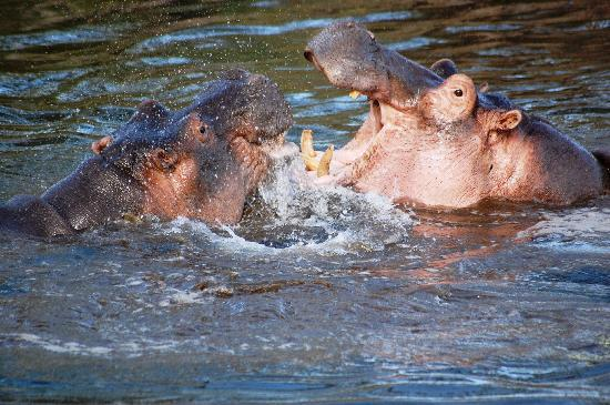 Finch Hattons Luxury Camp : Hippos splashing about for your entertainment