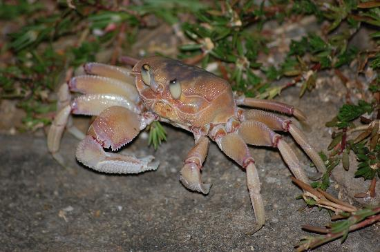 Southern Palms Beach Resort: Every night large crabs walk through the hotel grounds