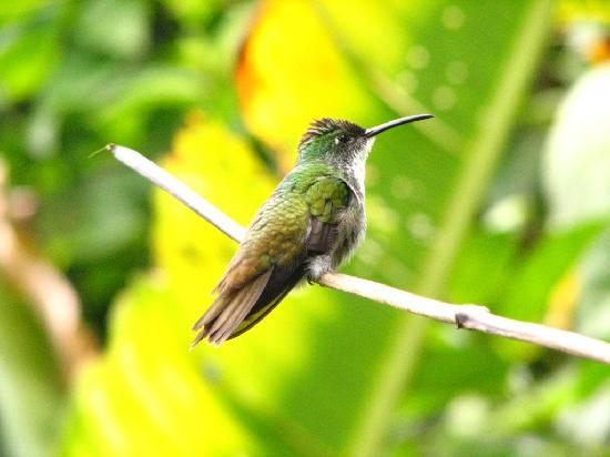 ‪‪Trinidad‬: Humming Bird in the Northen Range, Trinidad‬