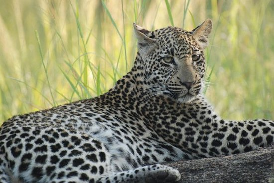 Elephant Plains Game Lodge: Leopards galore!