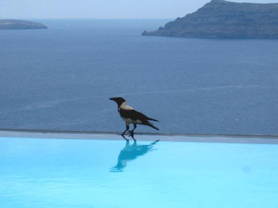 Perivolas: local bird enjoying the infinity pool with us