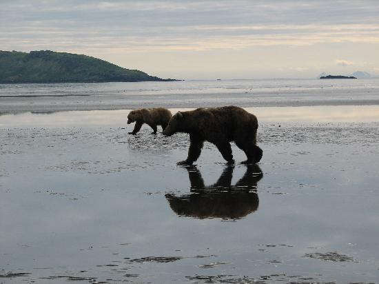 Isola di Kodiak, AK: Brown bear viewing is one of the most popular activities on the Kodiak Island Archipelago
