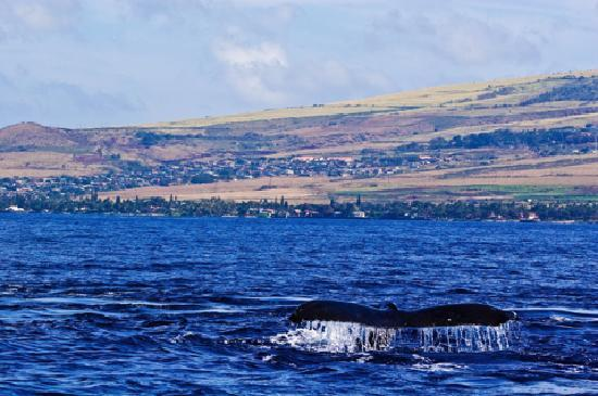 Maui, HI: See the gentle giants from December through May.