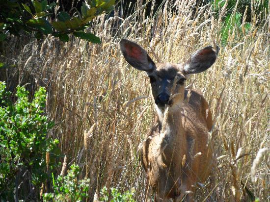 Jenner, Californien: Baby Deer