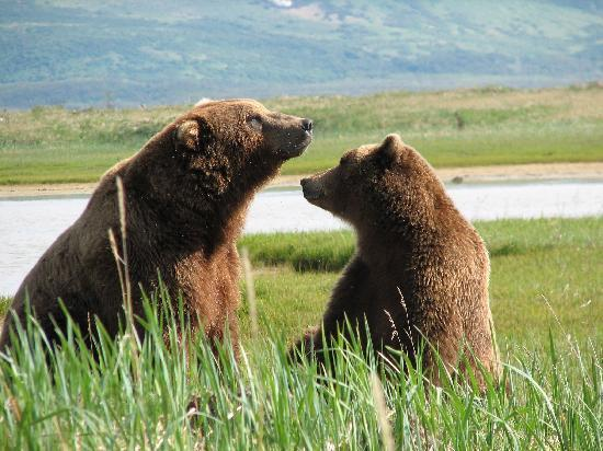 The Katmai Coast is a popular day trip from Kodiak Island where visitors will see brown bears in