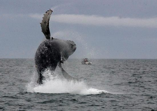 Kodiak Island, AK: Whale watching is a popular activity in Kodiak waters