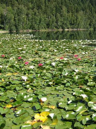 Dutch Lake Resort & RV Park: Beautiful Lily Pads