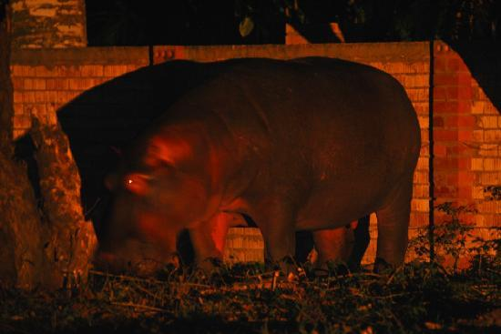 Seasands Lodge and Conference Centre : Hippo in the street right outside the Lodge