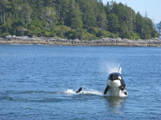 Ucluelet, Canadá: Orka attacking a sea-lion!