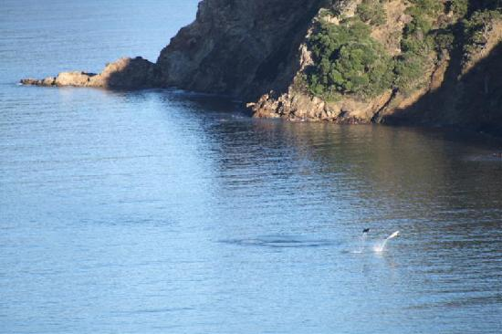 Great Barrier Island, Nuova Zelanda: Dolphins