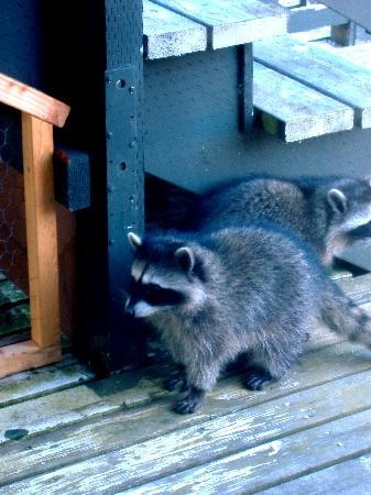 Olympic Hostel: Raccoons visit outside our window