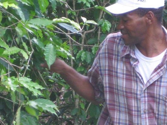 Uton's Private Tours : Ransford showing us coffee beans!