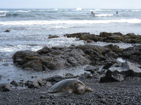 Hilo, هاواي: 黒砂海岸のウミガメ
