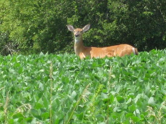 Hawk Valley Retreat & Cottages: Just one of many deer