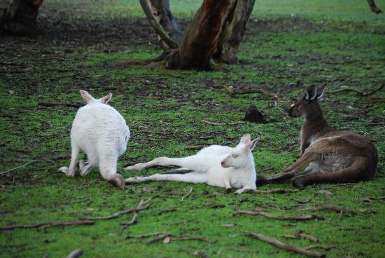 Kenguruøya, Australia: Raro esemplare di canguro albino