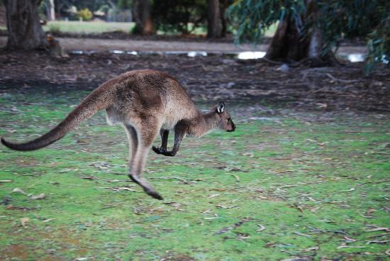 Kangaroo Island, Australien: Jumping cangaroo