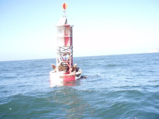 Bodega Bay Sailing: Sea Lions on Buoy