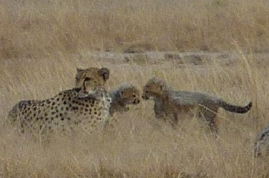 ‪‪Tortilis Camp‬: Cheetah with Cubs‬