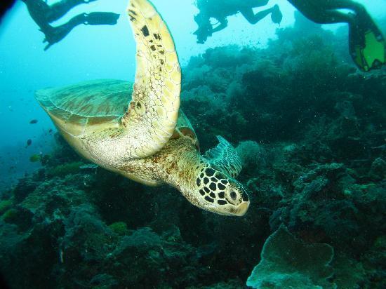 Seaventures Dive Rig: Turtle at Sipadan