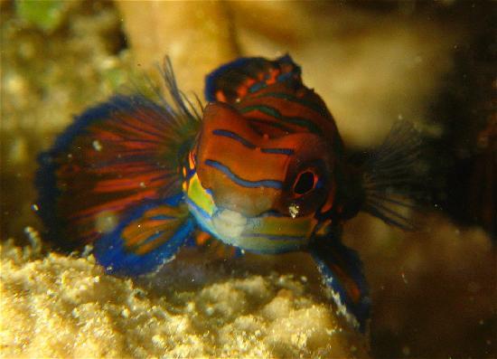 Seaventures Dive Rig: Mandarin fish at Mabul