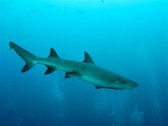 Seaventures Dive Rig: Shark at Sipadan