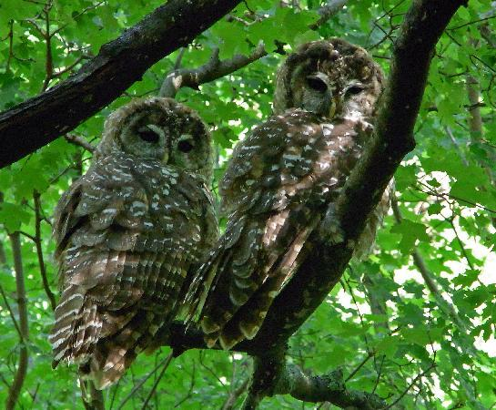 Beatty's Guest House and Orchard: spotted owls