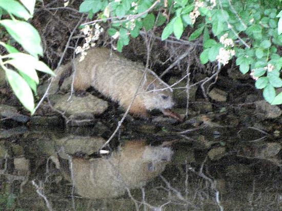 Marsh Creek State Park: groundhog at shoreline