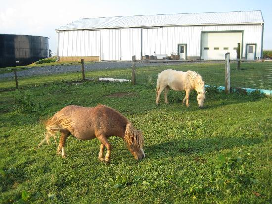 Old Summer House: Miniature horses