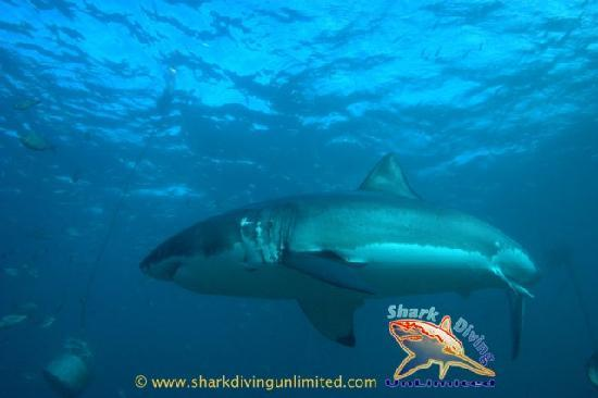Great White Shark Cage diving in Gansbaai, South Africa
