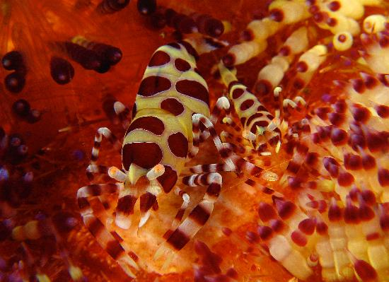 NAD-Lembeh Resort : coleman shrimp